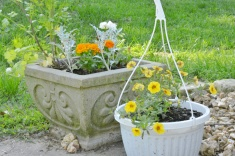 Cilantro, Marigolds, Dusty Millers and Pansies